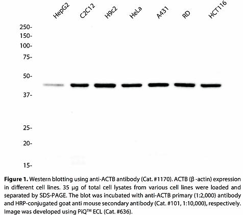 Anti-ACTB Mouse Monoclonal Ab #1170