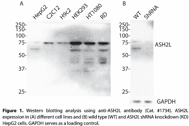 Anti-ASH2L Rabbit Monoclonal Ab #1734