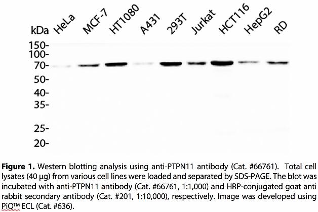 Anti-PTPN11 Rabbit Monoclonal Ab #66761