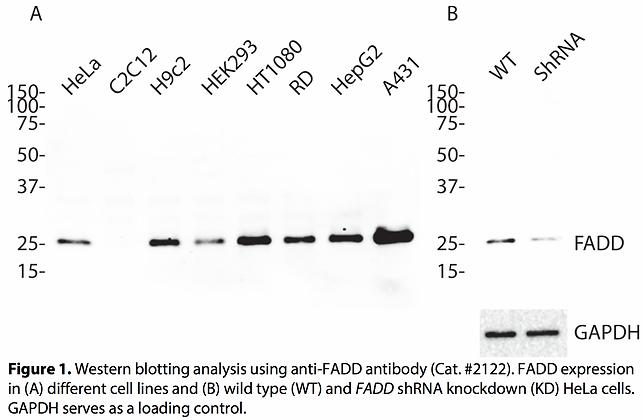 Validated FADD Lentiviral shRNA #V2122