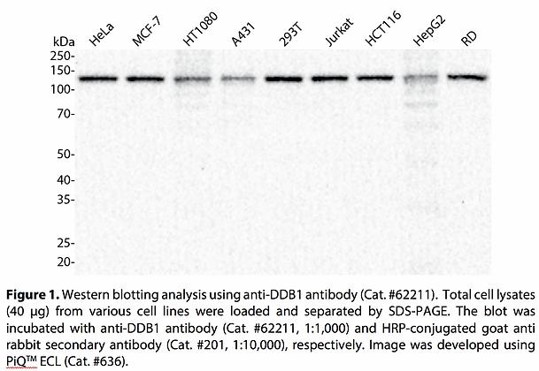 Anti-DDB1 Rabbit Monoclonal Ab #62211