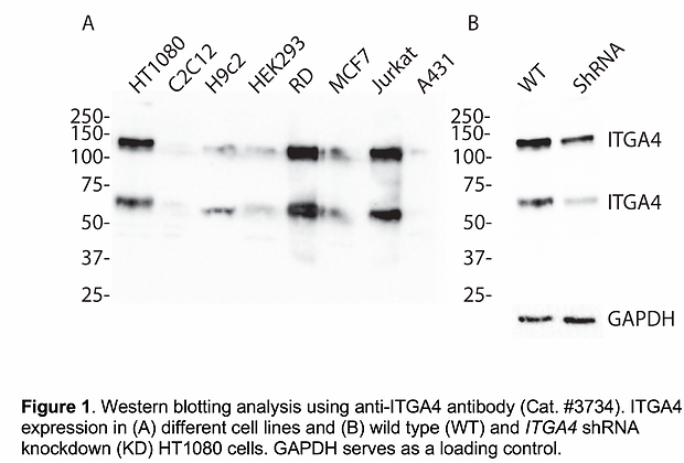Validated ITGA4 Lentiviral shRNA #V3734