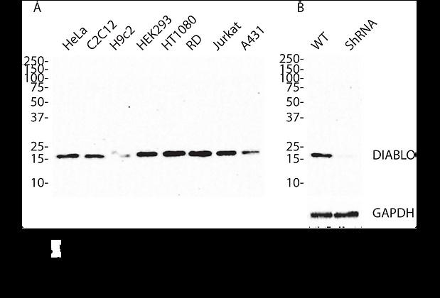 Validated DIABLO Lentiviral shRNA #V2345