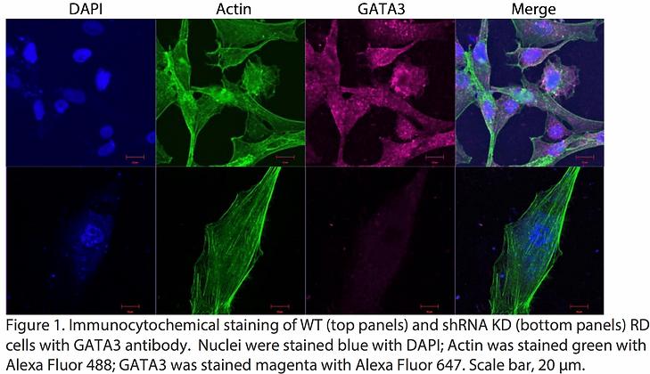 Validated GATA3 Lentiviral shRNA #V3173