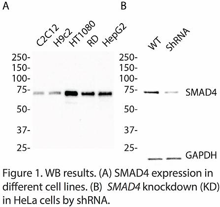 Validated SMAD4 Lentiviral shRNA #V7524