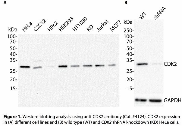 Validated CDK2 Lentiviral shRNA #V4124