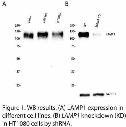 Validated LAMP1 Lentiviral shRNA #V4161