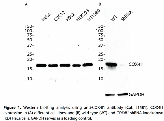 Anti-COX4I1 Rabbit Monoclonal Ab #1581