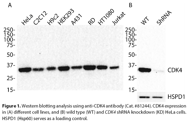 Anti-CDK4 Rabbit Monoclonal Ab #81244