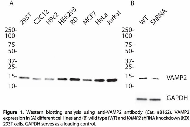 Validated VAMP2 Lentiviral shRNA #V8162