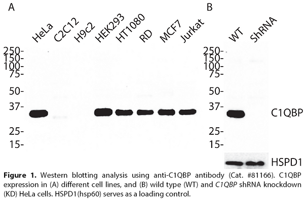 Anti-C1QBP Rabbit Monoclonal Ab #81166