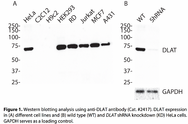 Validated DLAT Lentiviral shRNA #V2417