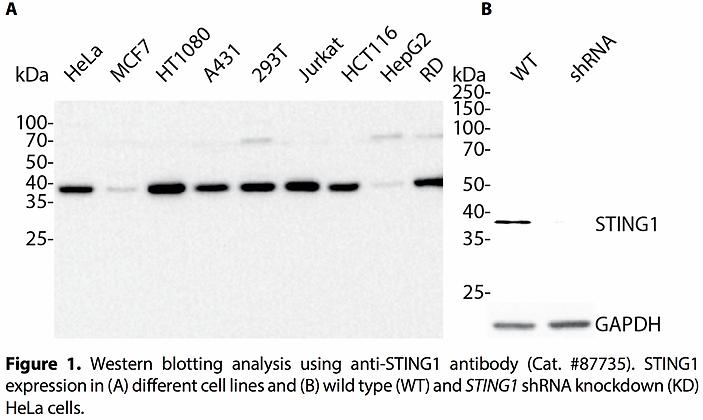 Validated STING1 Lentiviral shRNA #V87735