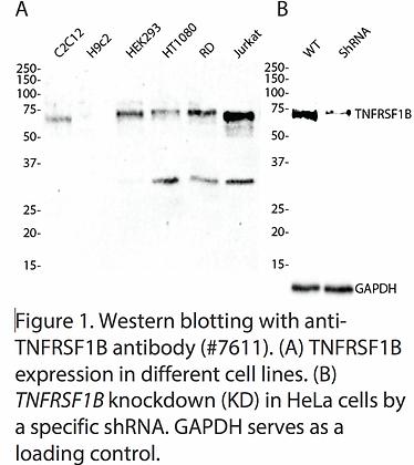 Anti-TNFRSF1B Rabbit Monoclonal Ab #7611