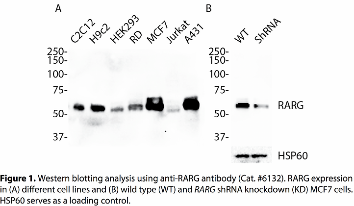 Validated RARG Lentiviral shRNA #V6132