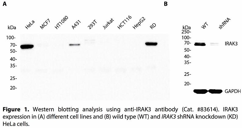 Validated IRAK3 Lentiviral shRNA #V83614