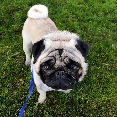 Dog pug christchurch