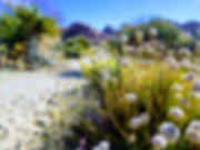 Joshua Tree native plants