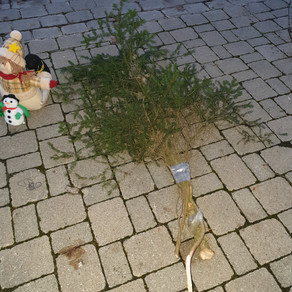 Weihnachtsbaumweitwurf