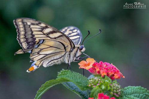 Butterfly  (MACRO)