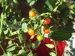 ミニトマトの収穫!