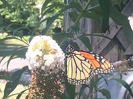 Zonta Locust St 2020 butterfly.jpg