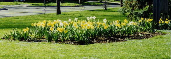 Zonta Locust St 2000 daffodils center be