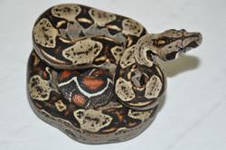 DH Squaretail / Leopard