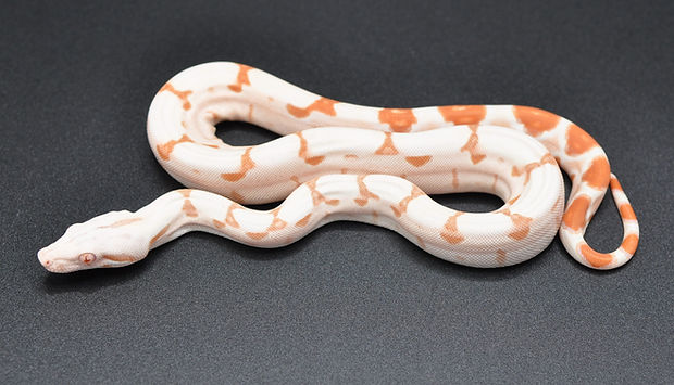 Albino Female (42).JPG