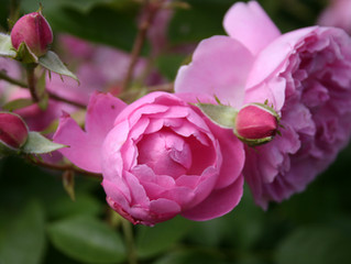 What is so special about Rose otto essential oil?