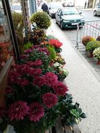 Isatis-fleurs5.jpg