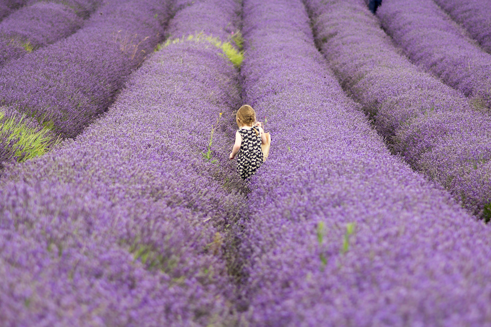 Child in lavendar field