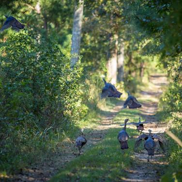 Turkeys in Thomasville