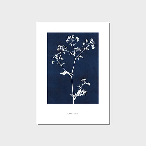 Poster A4 - Kerbelzweig blau weiss