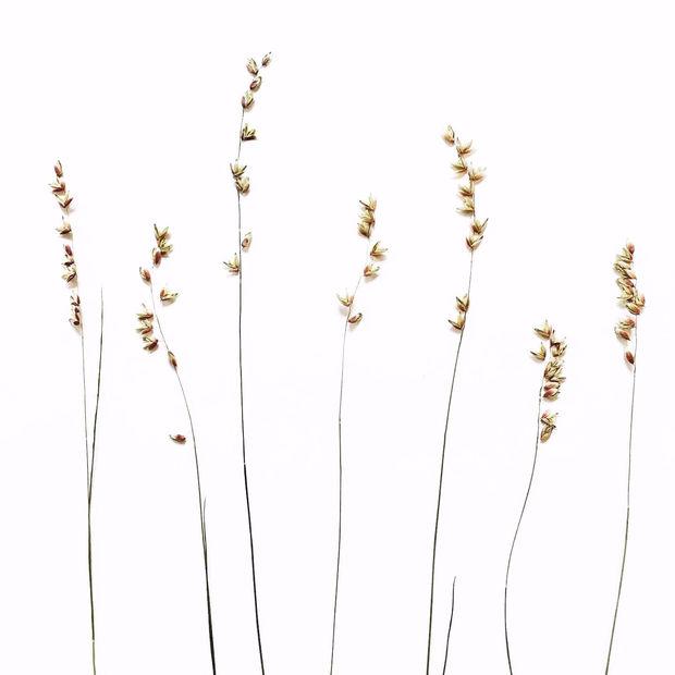 Perlgräser