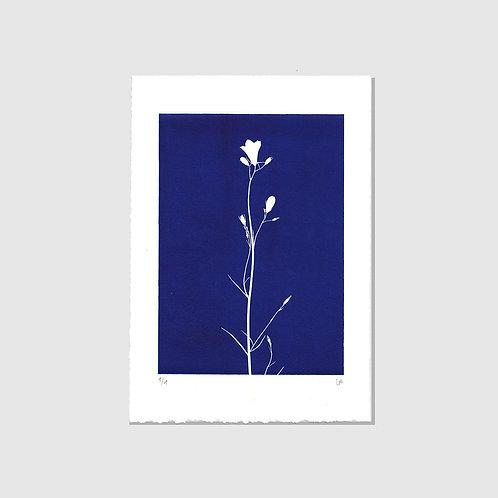 Glockenblume blau