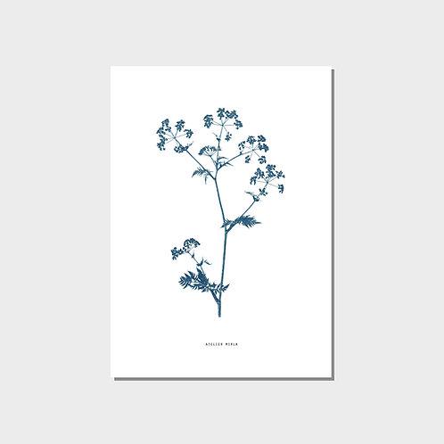 Poster A4 - Kerbelzweig weiss blau