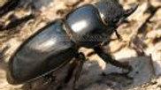 넓적사슴벌레 (암컷)