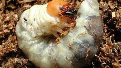 애사슴벌레 유충3령