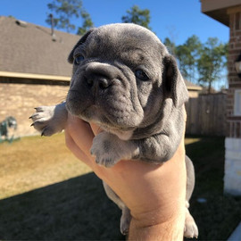 Lilac and tan male . 4 weeks old.jpg