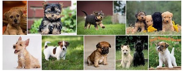 Terriers.png