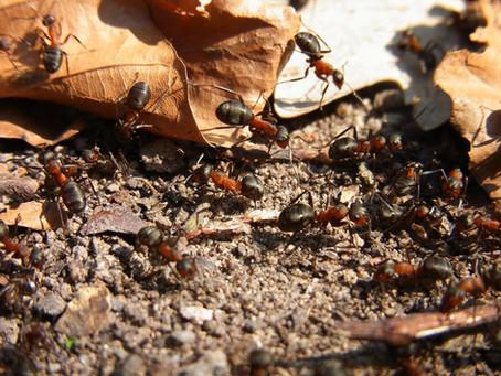 Astuces anti-fourmis naturel