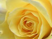 Zonta Rose.png