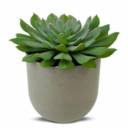 Green Goddess Succulent in Pot