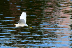 Bird Over Water