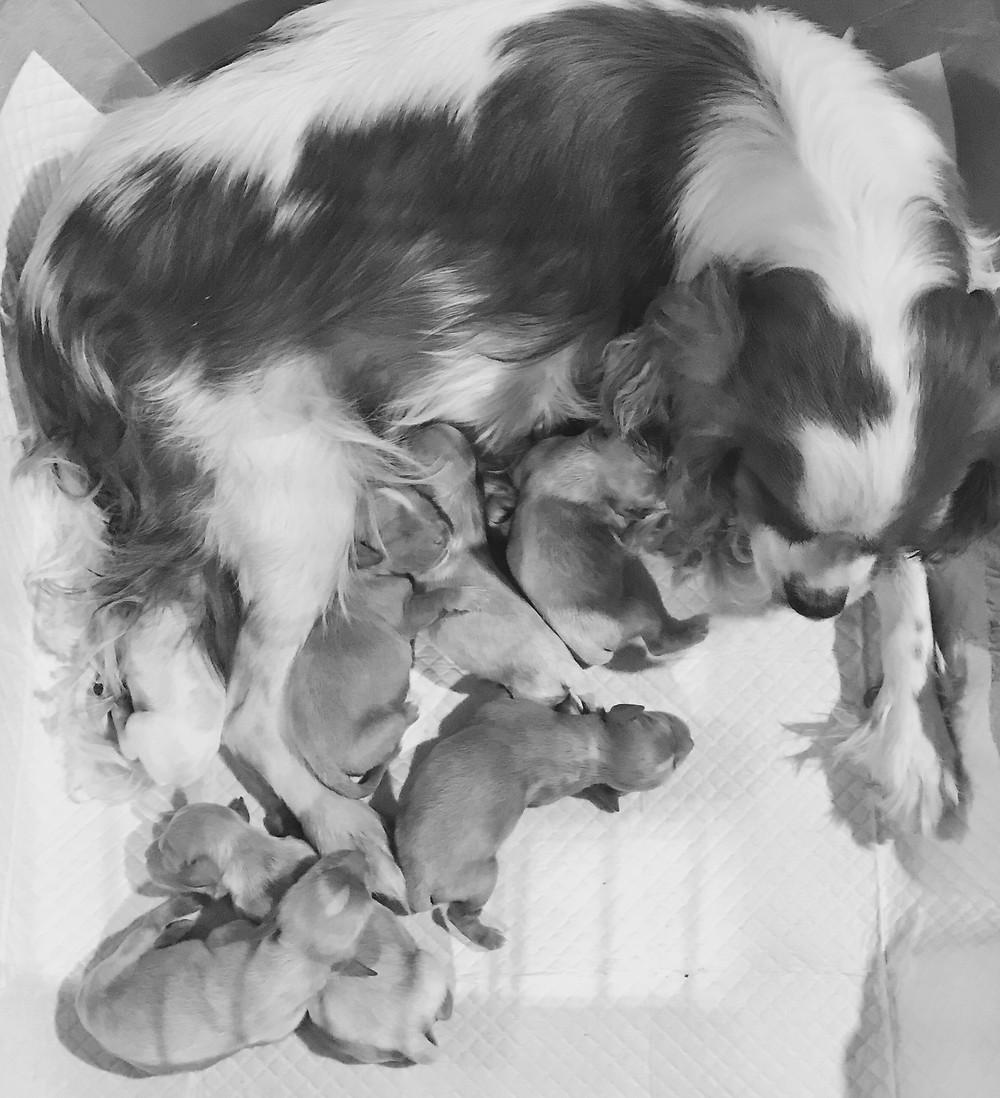 Cavapoo Babies