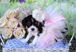 CavaCuties Teacup Cavalier Puppy