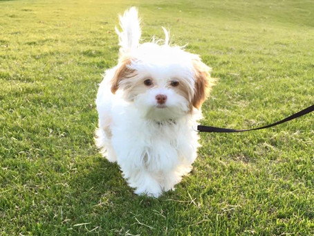 Available Shihpoo Puppies