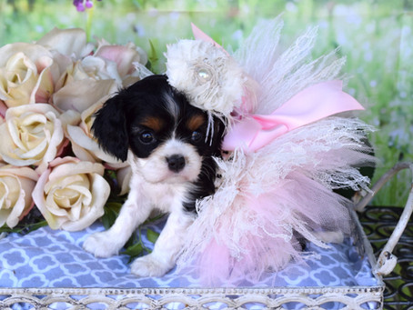 Cavalier King Charles Spaniel Puppies!