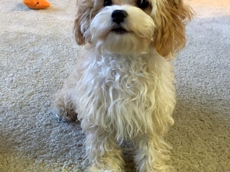 Cavapoo Puppies Coming in November